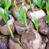 Росток вала кокоса Стоковая Фотография