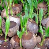 Росток вала кокоса Стоковые Изображения