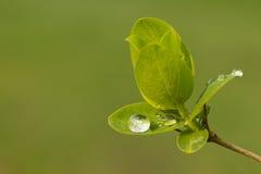 росток весны листьев Стоковые Изображения RF