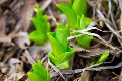Росток весны Стоковые Изображения RF