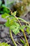 Росток виноградной лозы Стоковые Фотографии RF