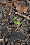 Росток дерева клена новый растя в земле в предпосылке листьев леса тухлой стоковые фотографии rf