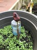 Росток дуриана Стоковая Фотография RF