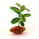 росток жолудя Стоковое Фото