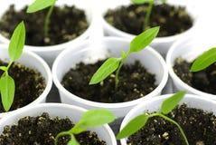 росток зеленого перца Стоковые Фотографии RF