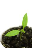 росток зеленого перца Стоковые Фото
