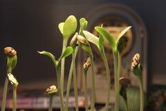 Росток зеленого растения растя прорастать от природы лета весеннего времени семени чудесной изолированной на предпосылке с часами стоковые изображения rf