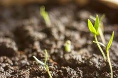 Росток зеленого растения растя прорастать от природы лета весеннего времени семени чудесной изолированной на белизне стоковое изображение