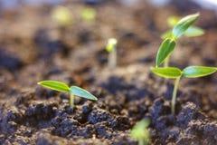 Росток зеленого растения растя прорастать от природы лета весеннего времени семени чудесной изолированной на белизне стоковые изображения