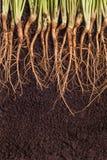 Росток и корни Стоковая Фотография