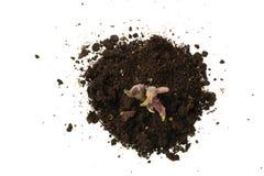 Росток картошки, помещенный в изолированной почве, на белизне Стоковые Фото