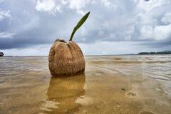 Росток кокоса на тропическом пляже моря Стоковые Изображения RF