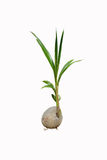 Росток кокоса Стоковое Изображение