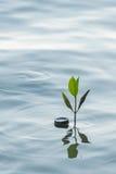 Росток мангровы в воде на лесе мангровы Стоковые Изображения