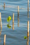 Росток мангровы в воде на лесе мангровы Стоковые Фотографии RF