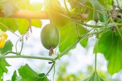 Росток младенца зеленого цвета завода лозы дерева тыквы Стоковые Фото