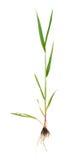 Росток пшеницы Стоковая Фотография