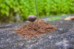 Росток резинового семени Стоковое Изображение RF