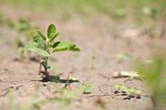 росток рядка поля урожая фасоли близкий вверх Стоковое Изображение RF