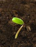 росток сои Стоковые Изображения
