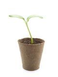 росток тыквы Стоковое Изображение