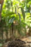 Росток дуриана Стоковые Изображения