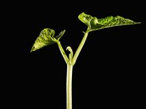 росток фасоли Стоковое фото RF