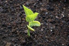 росток фасоли Стоковые Изображения