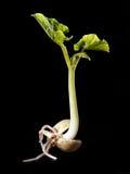 росток фасоли Стоковое Изображение RF