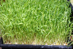 Росток фасоли Mung зеленой еды Стоковое фото RF
