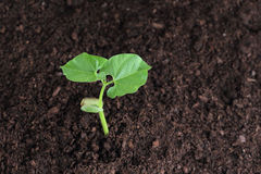 Росток фасоли в почве Стоковые Фото