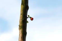 Росток яблока рака Стоковое Изображение RF