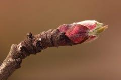 Росток яблони Стоковое Изображение RF