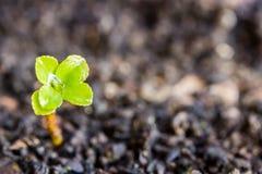 росток Стоковое Изображение RF