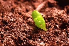 Росток aurantiaca fenestraria Стоковое Изображение