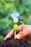 Росток xylocarpa Afzelia и человеческой руки Стоковое Фото