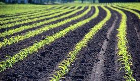 Росты озимаяа пшеница в плодородной почве на теплом утре осени Стоковое фото RF