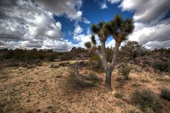 Рост дерева Иешуа в пустыне Wickeberg AZ стоковые изображения rf