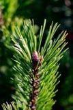Рост детенышей елевый Стоковое Изображение