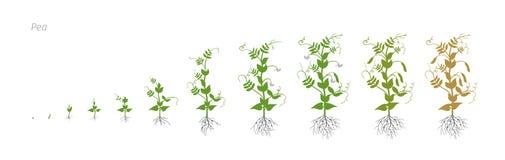 Рост земледелия культивирования Pisum Sativum гороха ставит иллюстрацию вектора Стоковая Фотография RF