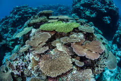 Рост коралла Стоковые Изображения RF