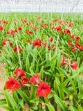 Рост красных лилий внутри парника Стоковые Фотографии RF