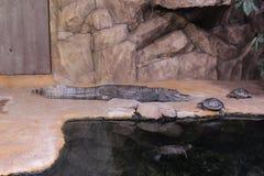 Рост крокодила карлика полностью Стоковые Фото