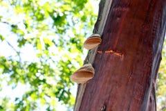 Рост на Manzanita Стоковая Фотография RF