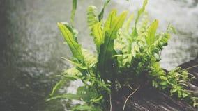 Рост папоротника на древесине с водой в саде Стоковое фото RF