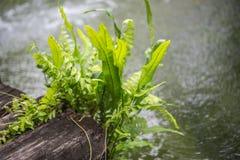 Рост папоротника на древесине с водой в саде Стоковое Фото