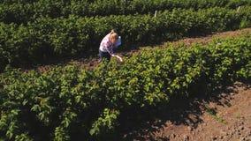 Рост проверки контролера клубник на плантации сток-видео