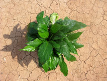 рост пустыни Стоковая Фотография