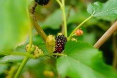 Рост плодоовощ шелковицы в ветвях шелковицы Стоковая Фотография RF
