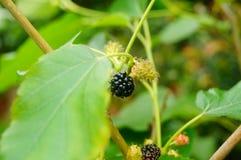 Рост плодоовощ шелковицы в ветвях шелковицы Стоковое фото RF